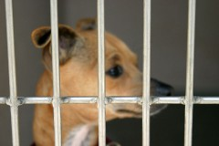 a chihuahua in an animal shelter cage