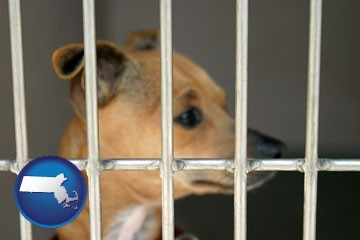 a chihuahua in an animal shelter cage - with Massachusetts icon